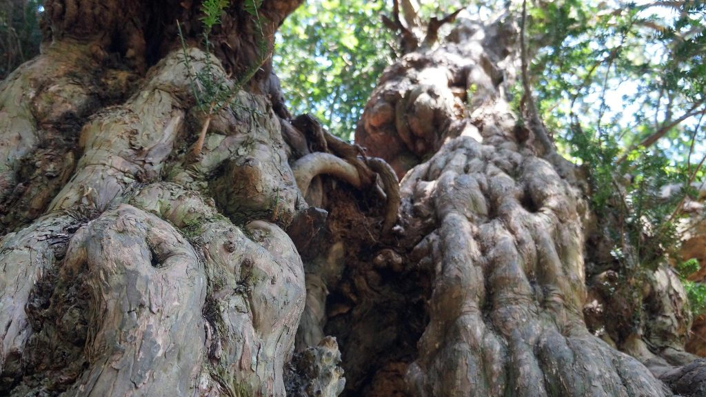 Caring for veteran and ancient trees